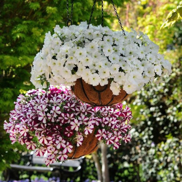 В каком месяце сажать петунию на рассаду, чтобы в мае цвела?