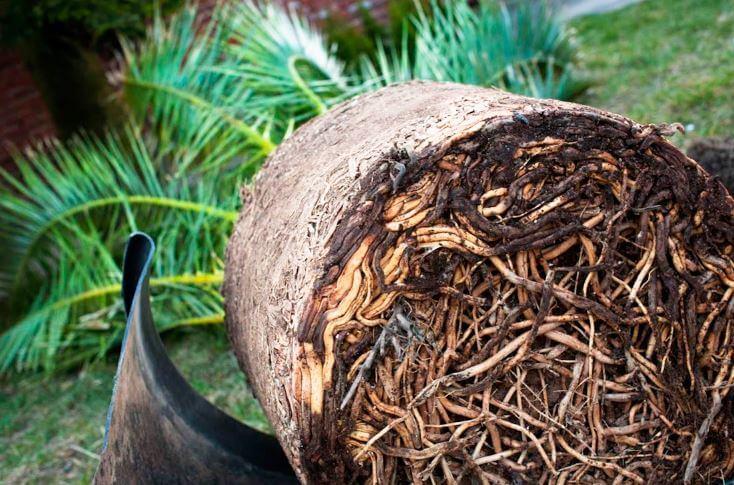 Финиковая пальма из косточки в домашних условиях как вырастить посадить ухаживать