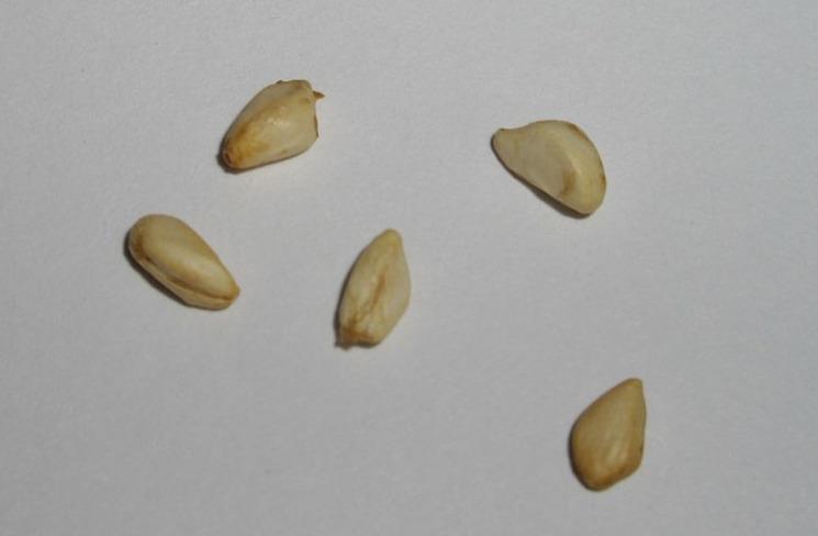 Семена граната