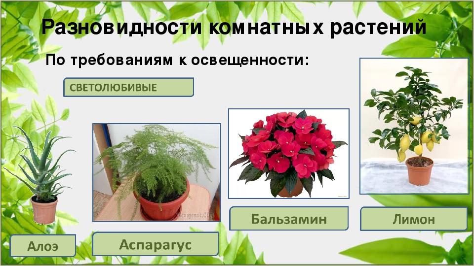 Светолюбивые комнатные растения