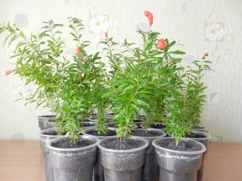 Выращивание граната