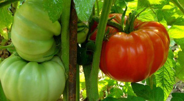 Сорта томатов гигантов для Средней полосы России