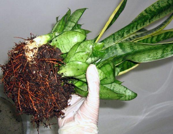 Размножение сансевиерии