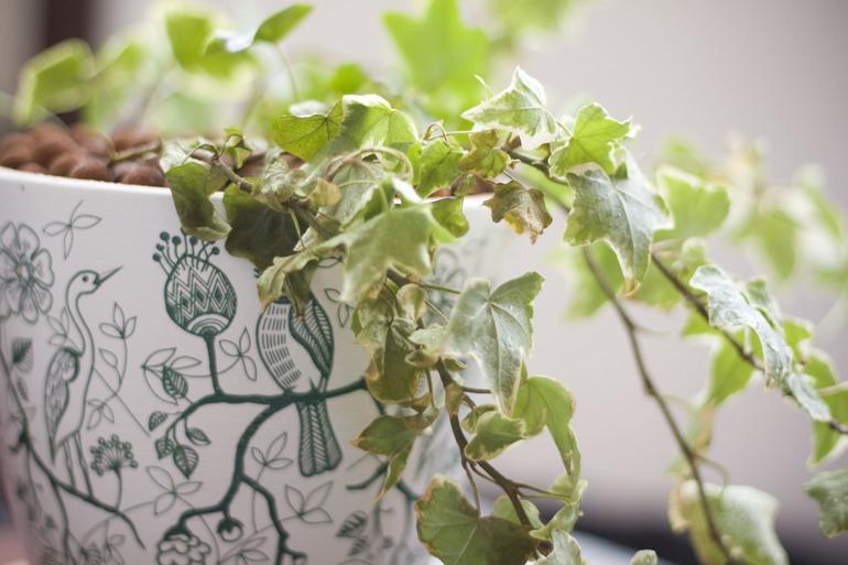 Плющ с сохнущими листьями