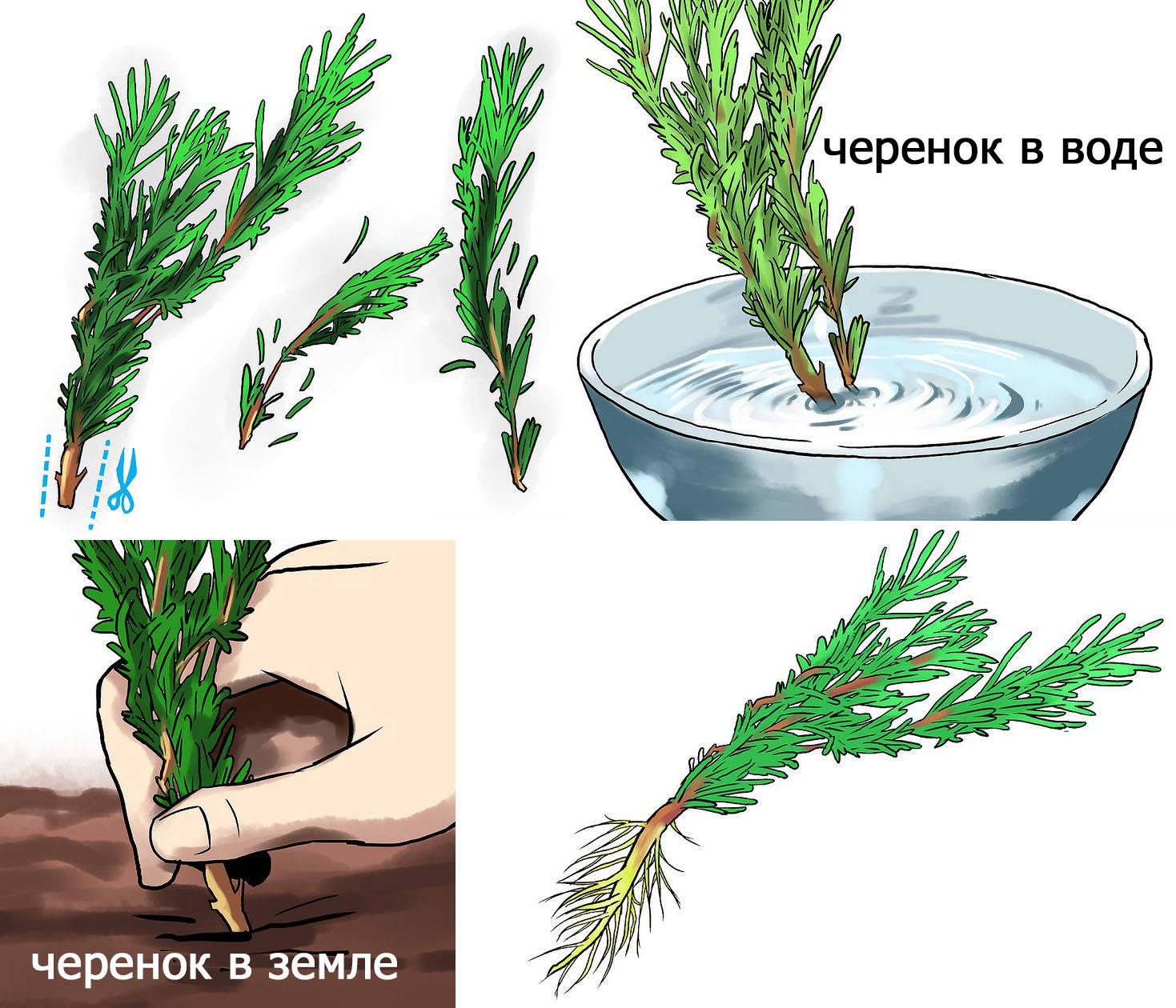 Укоренение зеленых черенков