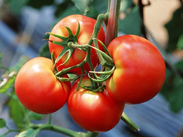 сорта помидоров устойчивые к фитофторе