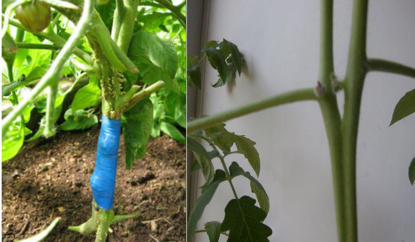 томат на два корня