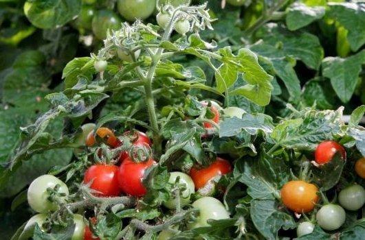 Сладкие универсальные сорта томатов