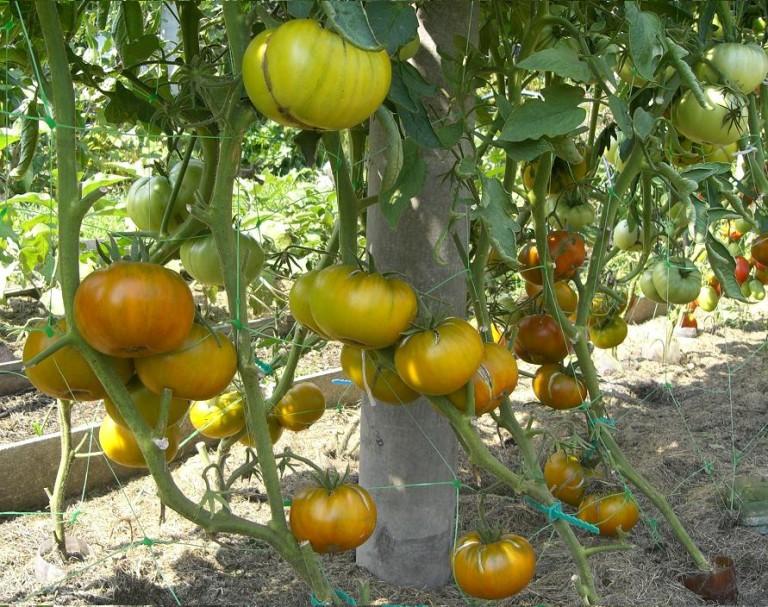 томаты для теплиц, зеленые сорта