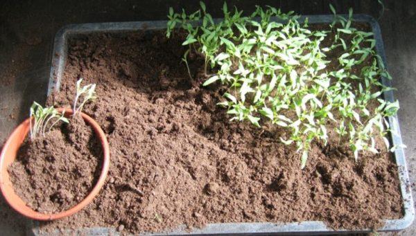 В апреле наступает время пикировки рассады томатов
