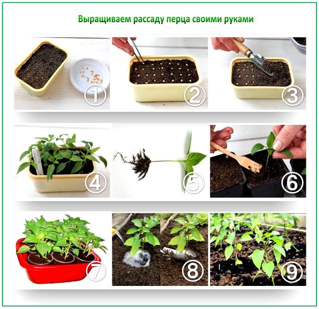 Схема выращивания перца
