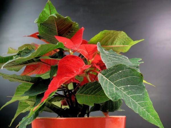 Цветы пуансеттия. Пуансетия — уход в домашних условиях. Цветы пуансеттия – уход после покупки или зимой.