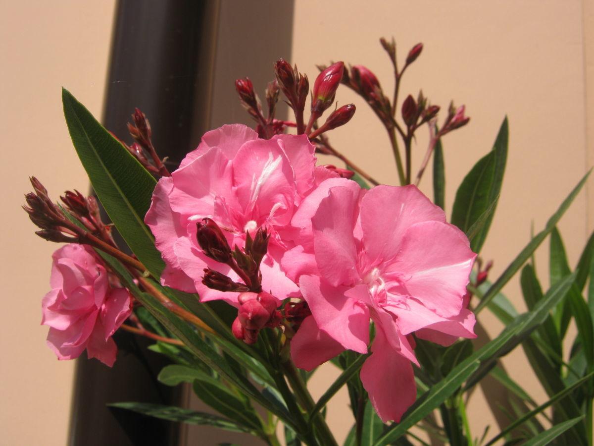 Олеандр фото цветов комнатных