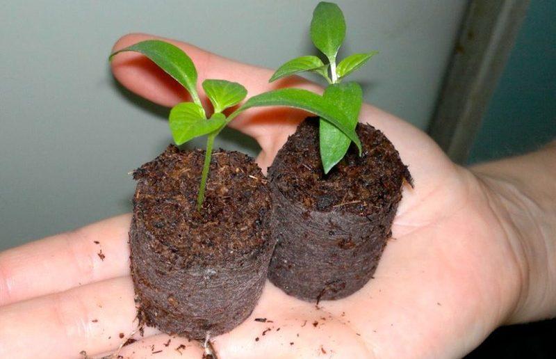 Посадка семян перца в торфяные таблетки