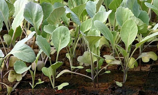 рассада капусты брокколи