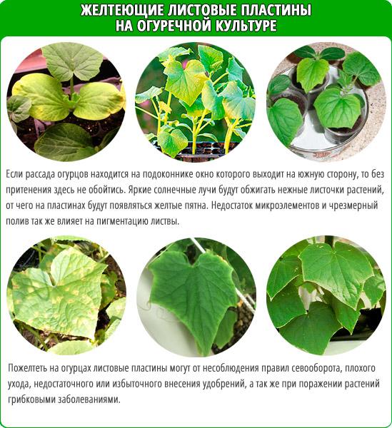 Причины пожелтения листьев