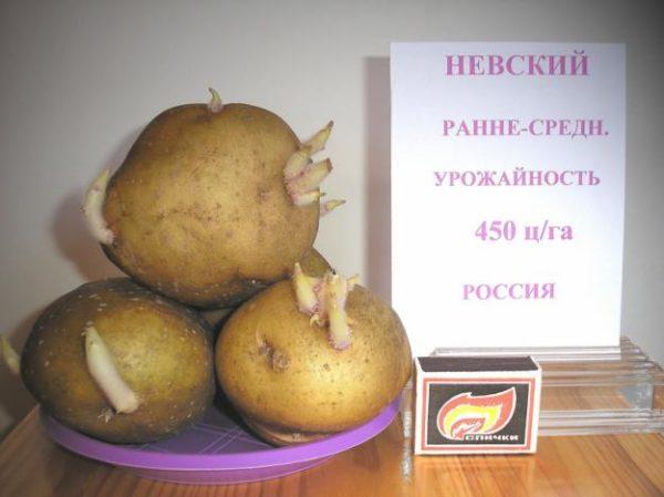 Сорта картофеля, которые не боятся колорадского жука