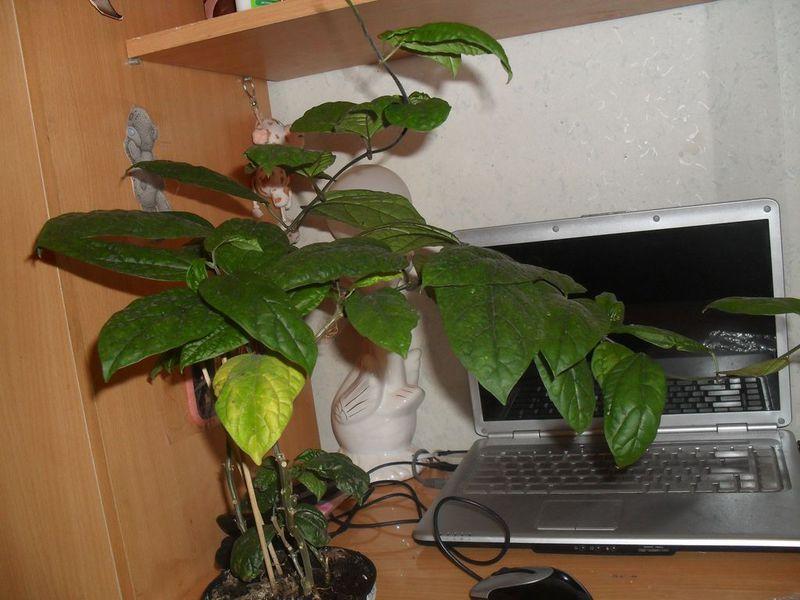 Отсутствие цветения у клеродендрума