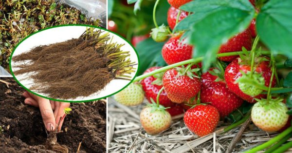 Земляника! Как выбрать идеальный сорт и правильно вырастить?