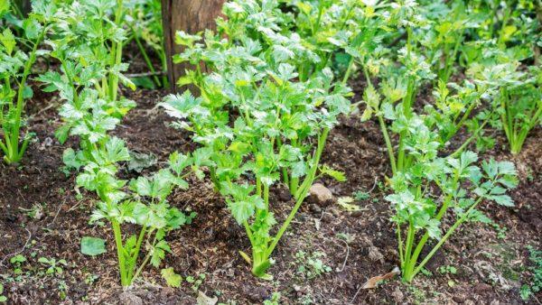 Посадка петрушки под зиму — лучшие сорта и сроки выращивания
