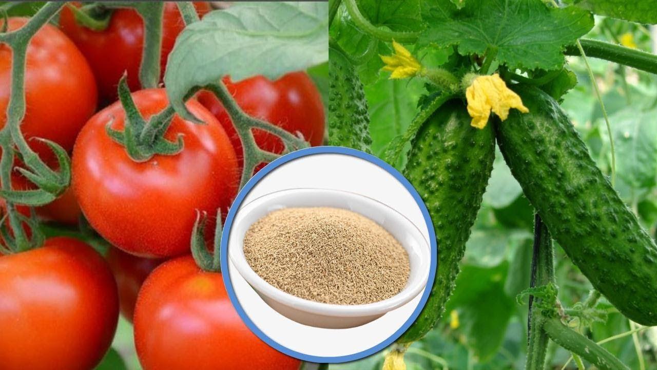подкормка томатов дрожжами