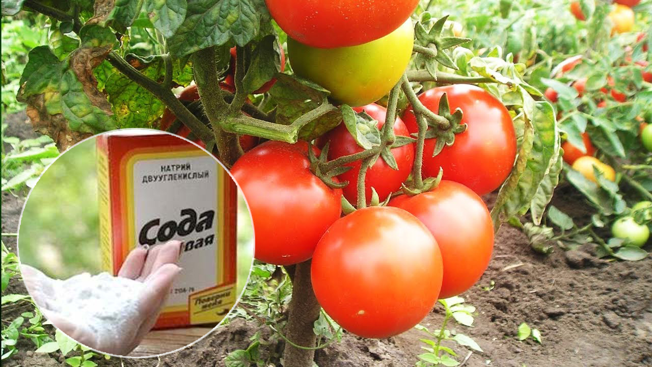 Сода подкормка для томатов