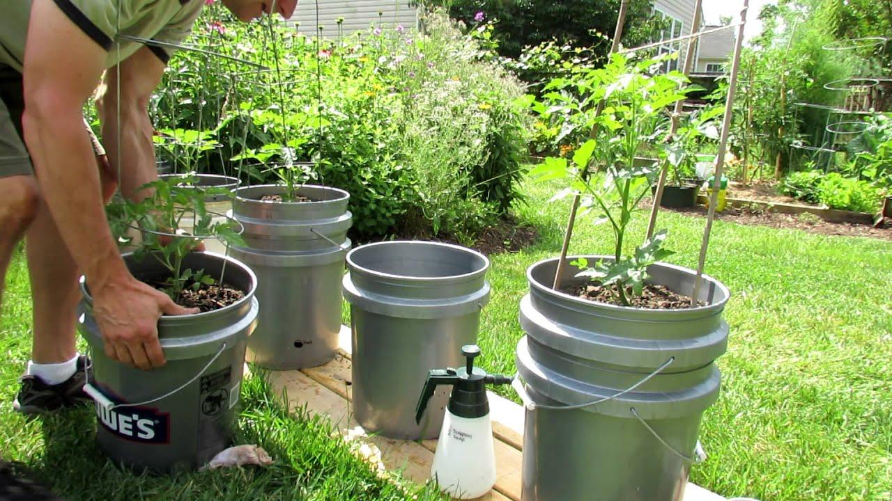 выращивание помидор в ведрах без дна