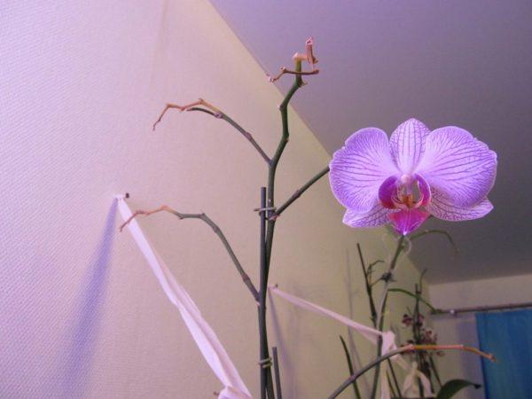 Нужно ли отрезать стебель у орхидеи