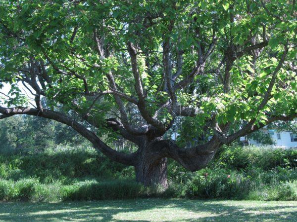 Катальпа прекрасная (великолепная, Catalpaspeciosa): описание, фото дерева, выращивание