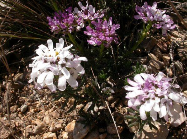 Иберис многолетний: посадка и уход