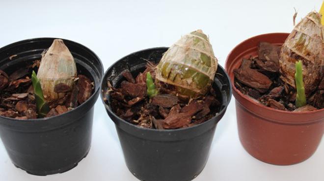 Орхидеи Из Луковицы из Вьетнама