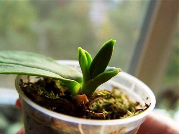 Как выращивать орхидею из семян в домашних?