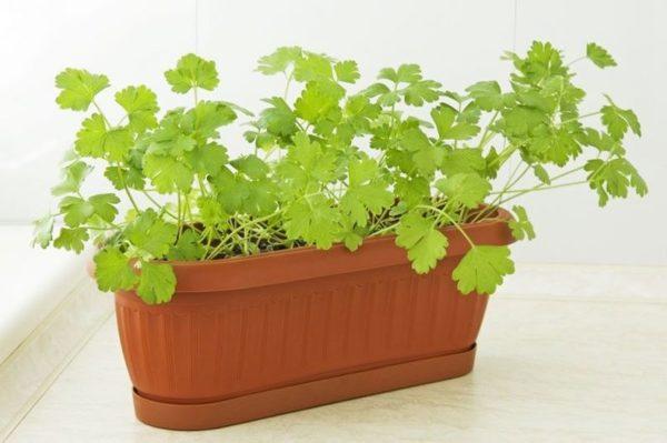 Правильное выращивание петрушки из семян на подоконнике