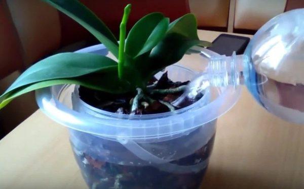 Поливать орхидею