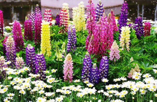 Все о люпинах цветах