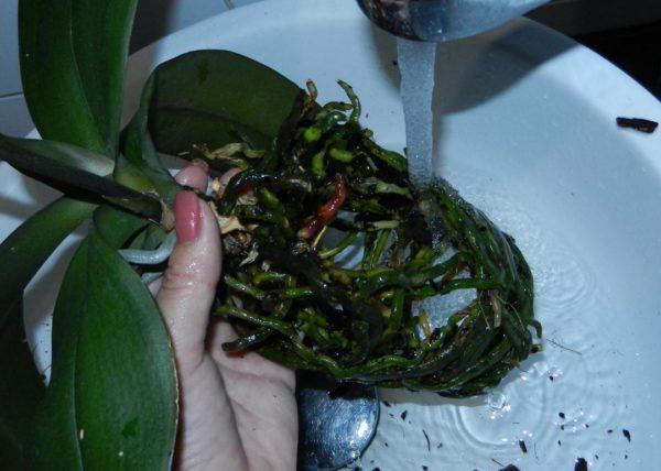 Мошки в орхидеи