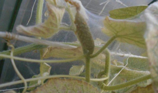 паутинный клещ на огурцах