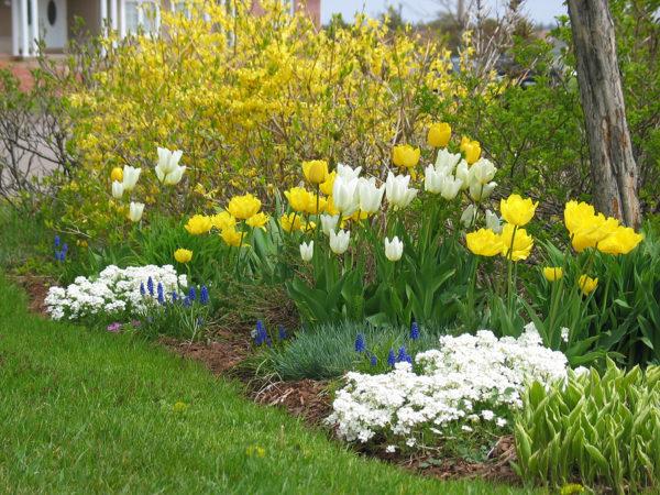 арабис и тюльпаны