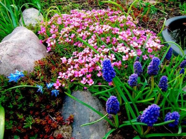 арабис и синие цветы