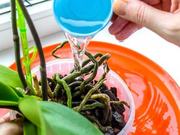 kak-polivat-orhideyu