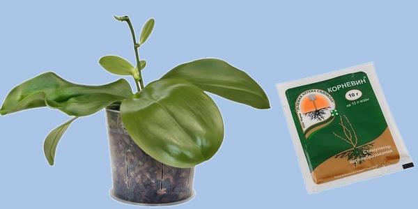 Корневин Орхидей