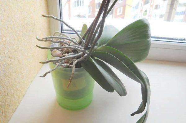 Корни орхидеи вылезли из горшка можно ли их обрезать Что делать если корни растут вверх или вылезают снизу