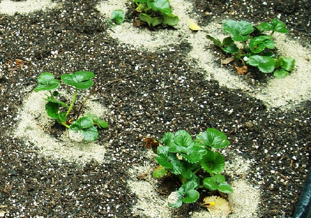 Когда сажать землянику на рассаду из семян в 2019 году по лунному календарю и региону