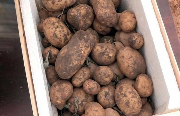 hranenie kartofelja v korobke