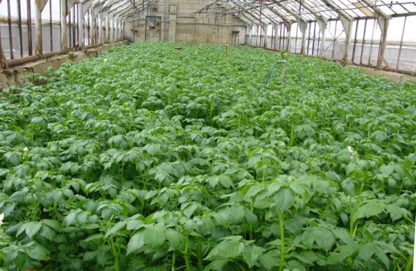 Выращивание картофеля в бочке описание технологии плюсы и минусы