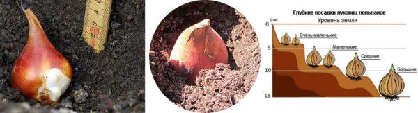 схема посадки луковиц