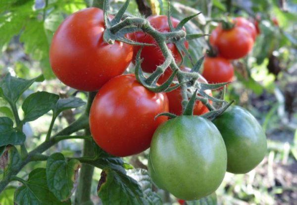 Сорт помидор для теплицы без пасынкования