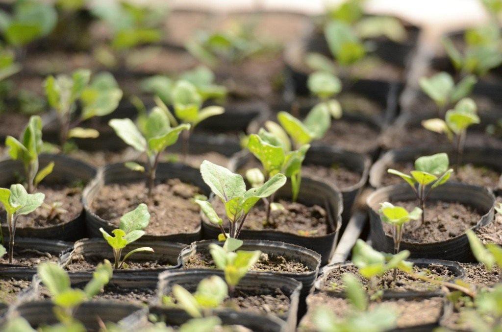 в какую землю высаживать и пересаживать рассаду