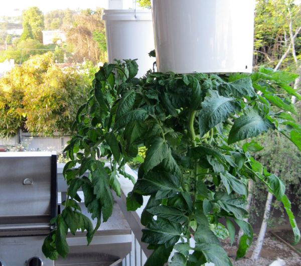 Помидоры вверх ногами — Дача,сад и огород