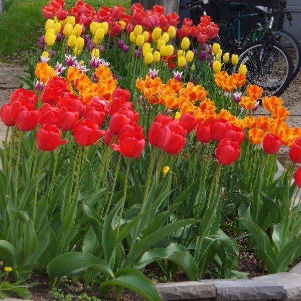 разновидность тюльпанов